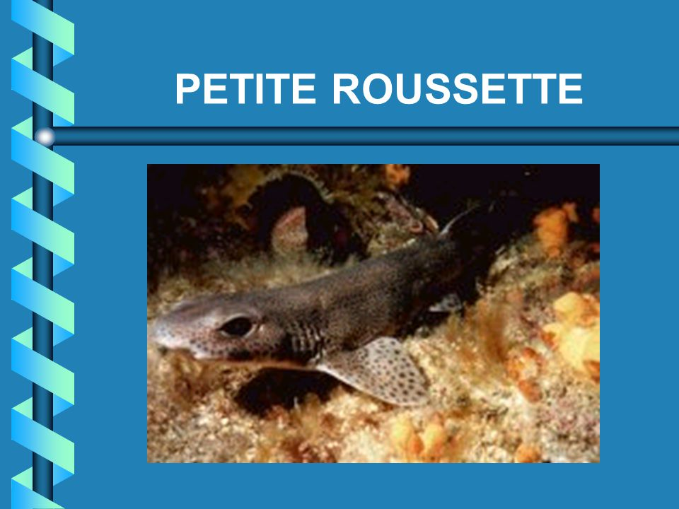 PETITE ROUSSETTE