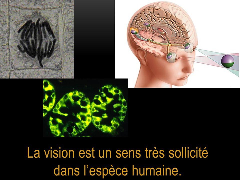 La vision est un sens très sollicité dans l'espèce humaine.
