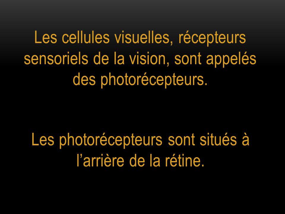 Les cellules visuelles, récepteurs sensoriels de la vision, sont appelés des photorécepteurs. Les photorécepteurs sont situés à l'arrière de la rétine