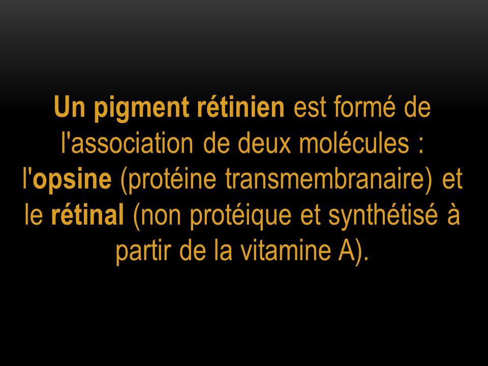 Un pigment rétinien est formé de l'association de deux molécules : l' opsine (protéine transmembranaire) et le rétinal (non protéique et synthétisé à