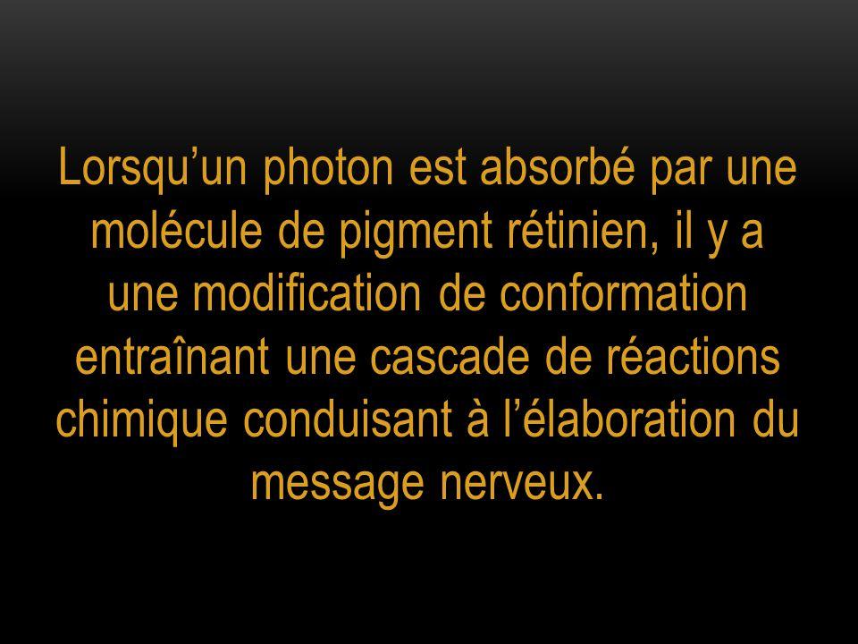 Lorsqu'un photon est absorbé par une molécule de pigment rétinien, il y a une modification de conformation entraînant une cascade de réactions chimiqu