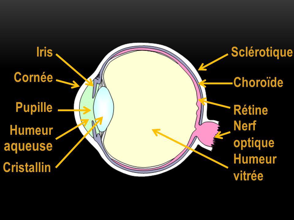 Cristallin Humeur aqueuse Pupille Cornée Iris Rétine Choroïde Sclérotique Humeur vitrée Nerf optique