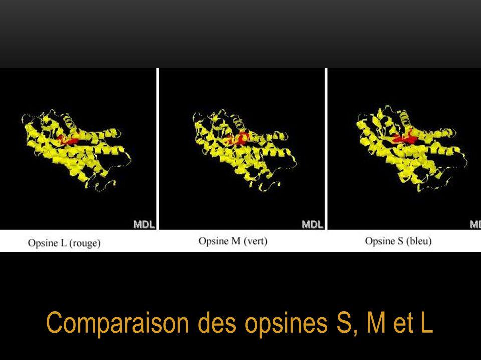 Comparaison des opsines S, M et L
