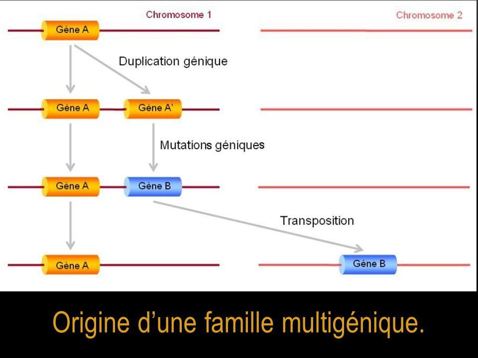 Origine d'une famille multigénique.