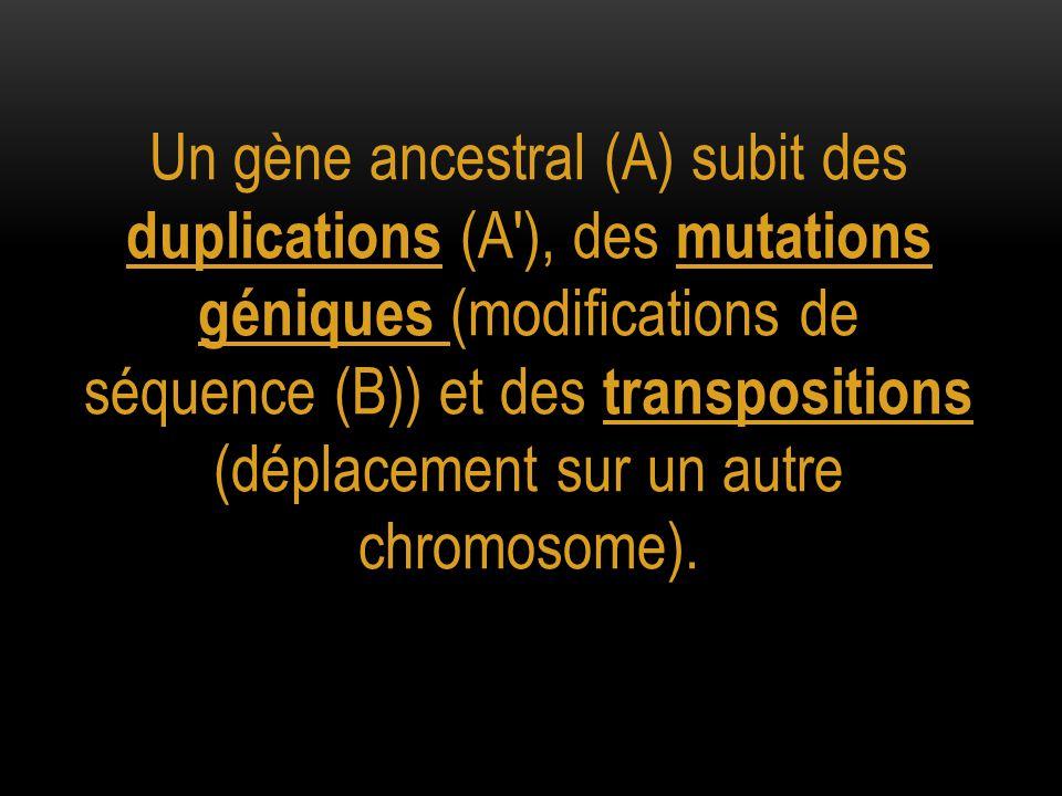 Un gène ancestral (A) subit des duplications (A'), des mutations géniques (modifications de séquence (B)) et des transpositions (déplacement sur un au