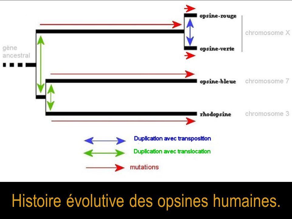 Histoire évolutive des opsines humaines.