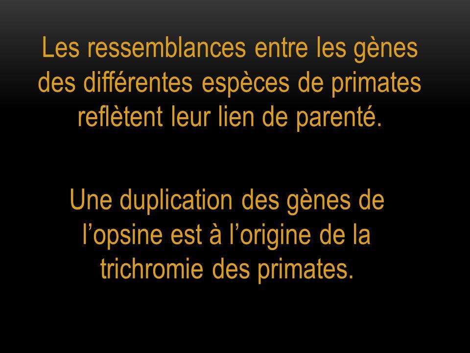 Les ressemblances entre les gènes des différentes espèces de primates reflètent leur lien de parenté. Une duplication des gènes de l'opsine est à l'or