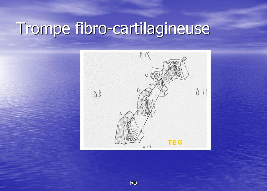 Trompe fibro-cartilagineuse TE G