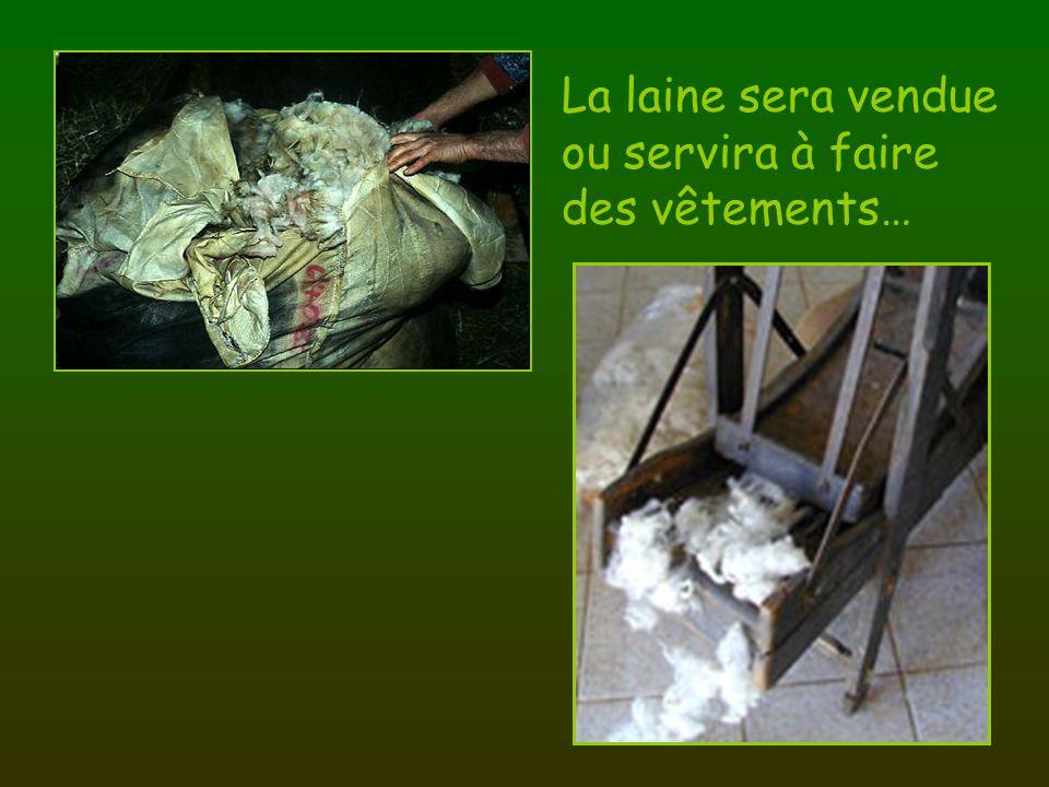 La laine sera vendue ou servira à faire des vêtements…