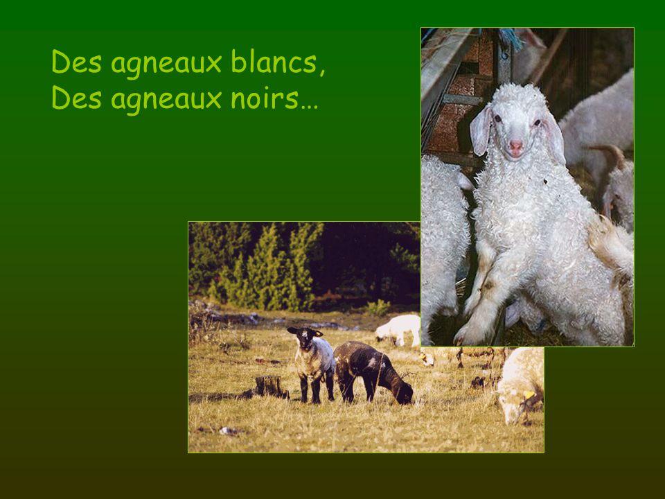 Des agneaux blancs, Des agneaux noirs…