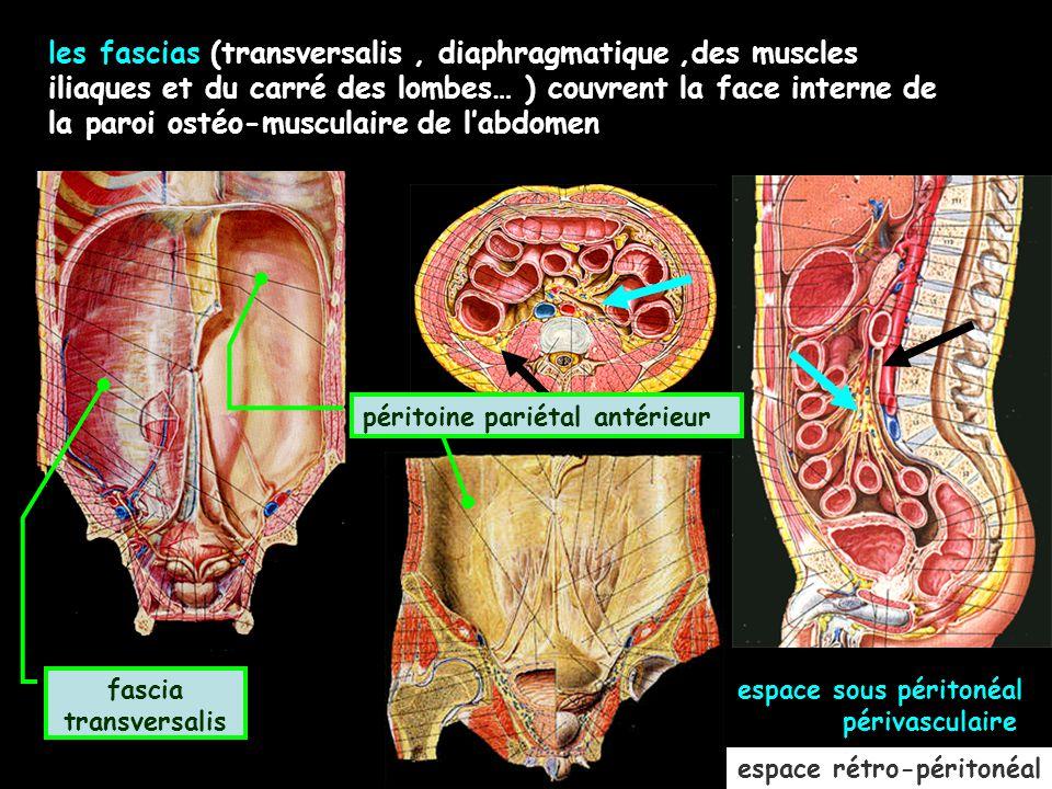 espace rétro-péritonéal les fascias (transversalis, diaphragmatique,des muscles iliaques et du carré des lombes… ) couvrent la face interne de la paro