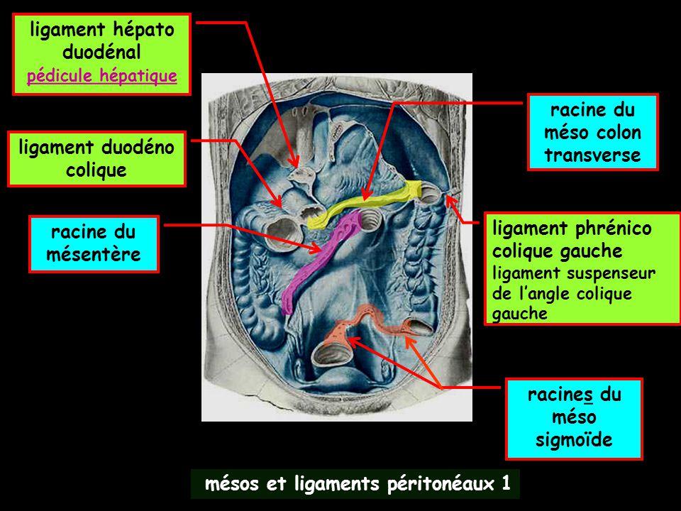 mésos et ligaments péritonéaux 1 ligament hépato duodénal pédicule hépatique ligament duodéno colique ligament phrénico colique gauche ligament suspen