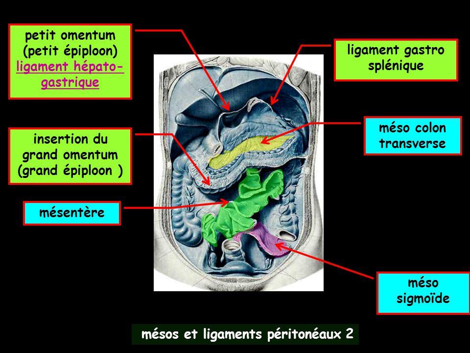 mésos et ligaments péritonéaux 2 méso colon transverse mésentère méso sigmoïde petit omentum (petit épiploon) ligament hépato- gastrique ligament gast