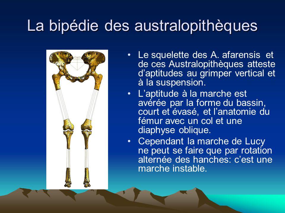 La bipédie des australopithèques Le squelette des A. afarensis et de ces Australopithèques atteste d'aptitudes au grimper vertical et à la suspension.