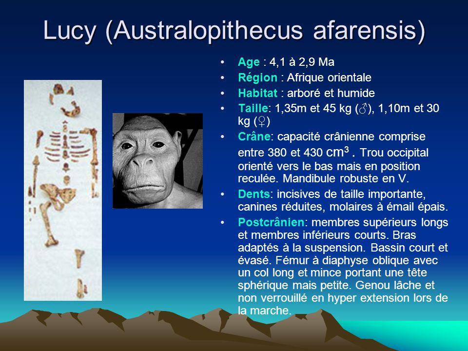 Lucy (Australopithecus afarensis) Age : 4,1 à 2,9 Ma Région : Afrique orientale Habitat : arboré et humide Taille: 1,35m et 45 kg (♂), 1,10m et 30 kg