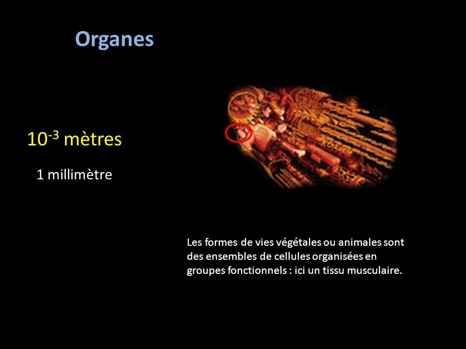 Organes 10 -3 mètres 1 millimètre Les formes de vies végétales ou animales sont des ensembles de cellules organisées en groupes fonctionnels : ici un tissu musculaire.