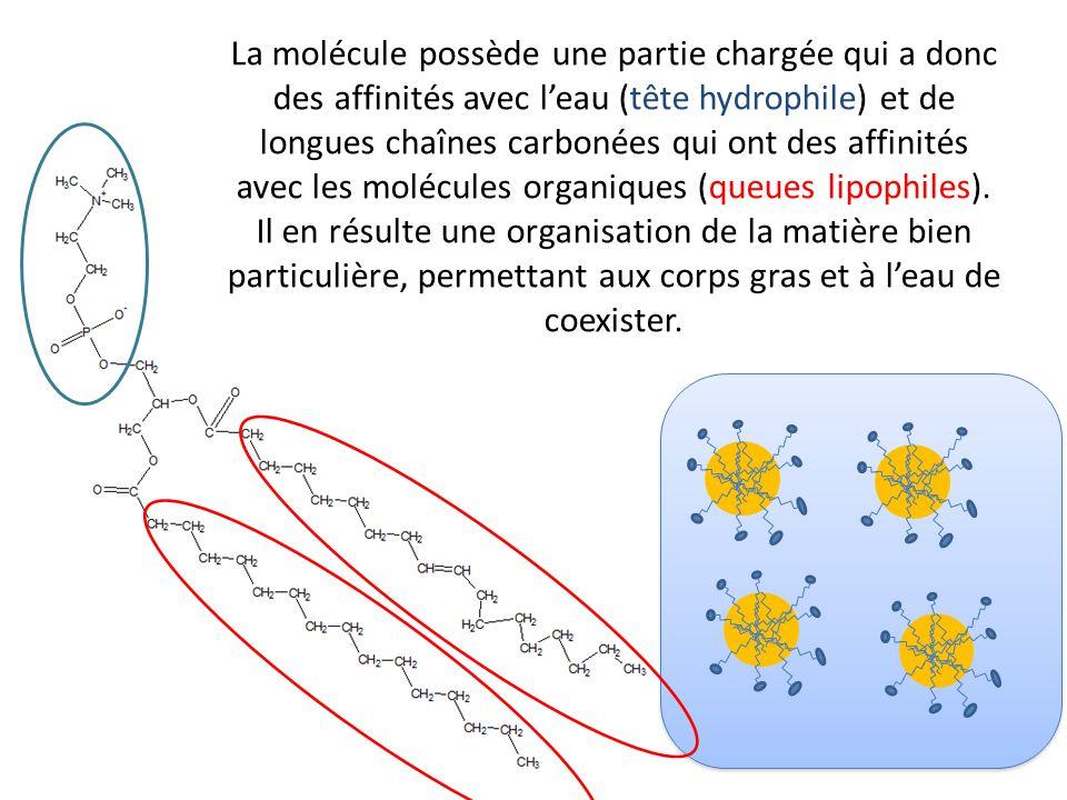 La molécule possède une partie chargée qui a donc des affinités avec l'eau (tête hydrophile) et de longues chaînes carbonées qui ont des affinités avec les molécules organiques (queues lipophiles).