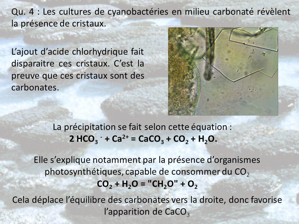 Qu. 4 : Les cultures de cyanobactéries en milieu carbonaté révèlent la présence de cristaux. L'ajout d'acide chlorhydrique fait disparaitre ces crista