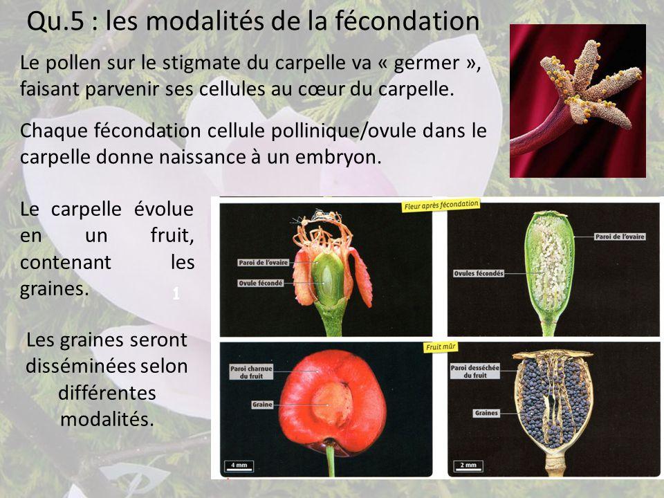 Qu.5 : les modalités de la fécondation 1 Le pollen sur le stigmate du carpelle va « germer », faisant parvenir ses cellules au cœur du carpelle. Chaqu