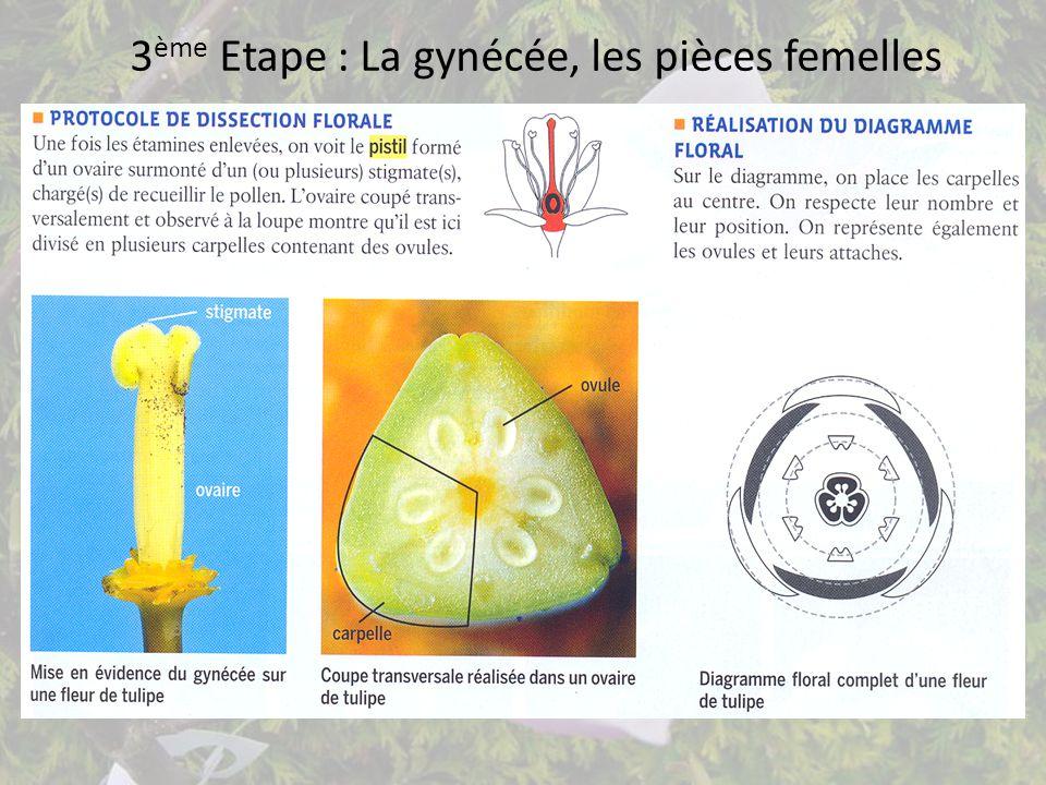 3 ème Etape : La gynécée, les pièces femelles