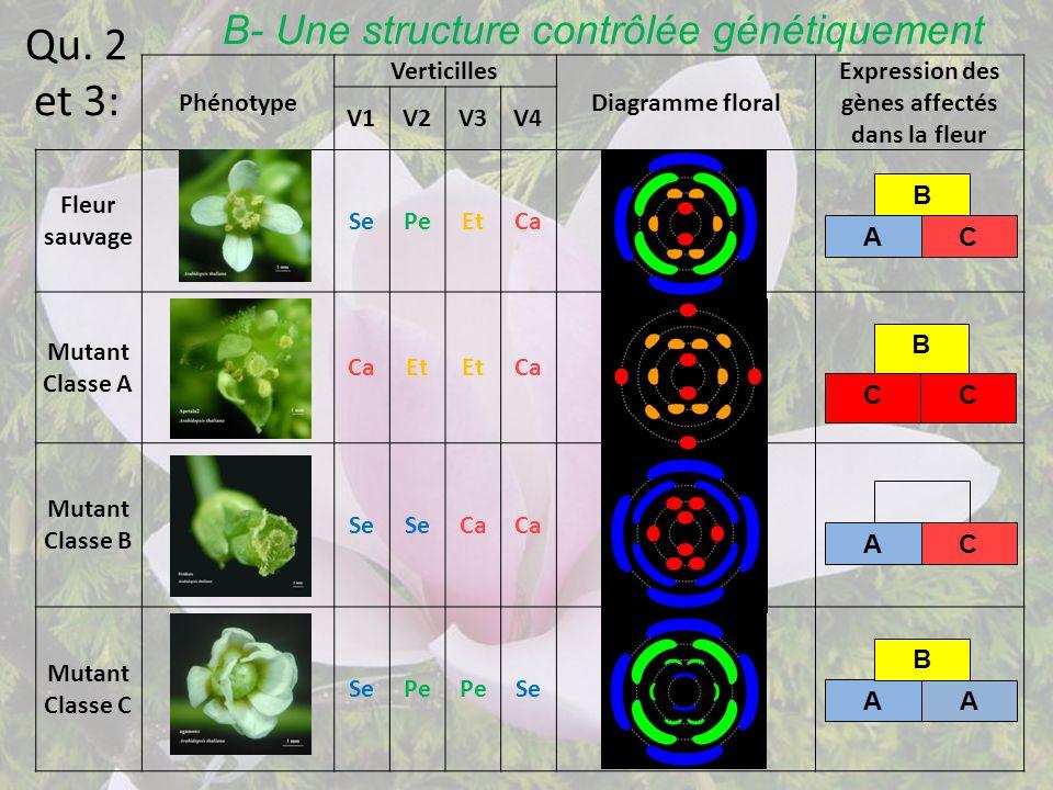 Qu. 2 et 3: Phénotype Verticilles Diagramme floral Expression des gènes affectés dans la fleur V1V2V3V4 Fleur sauvage SePeEtCa Mutant Classe A CaEt Ca