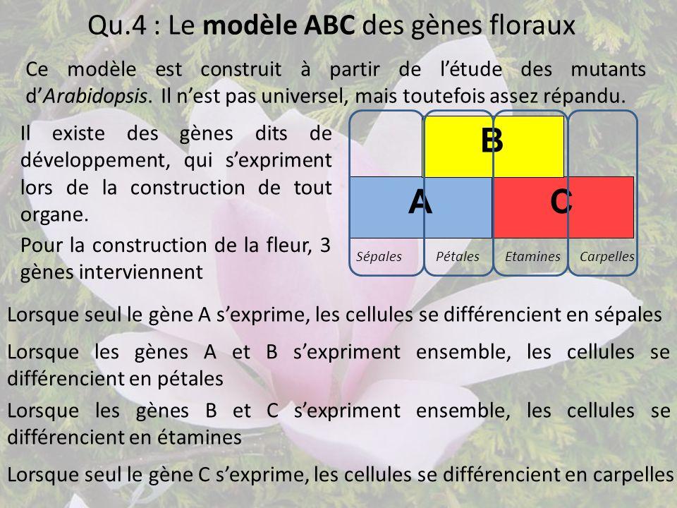 Qu.4 : Le modèle ABC des gènes floraux Ce modèle est construit à partir de l'étude des mutants d'Arabidopsis. Il n'est pas universel, mais toutefois a