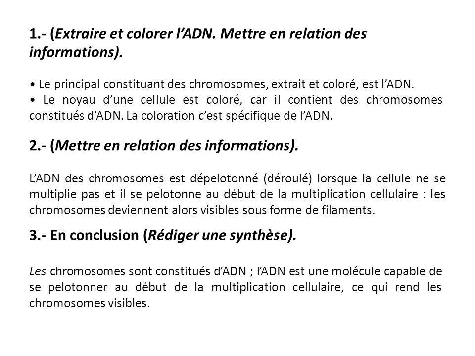 1.- (Extraire et colorer l'ADN. Mettre en relation des informations). Le principal constituant des chromosomes, extrait et coloré, est l'ADN. Le noyau