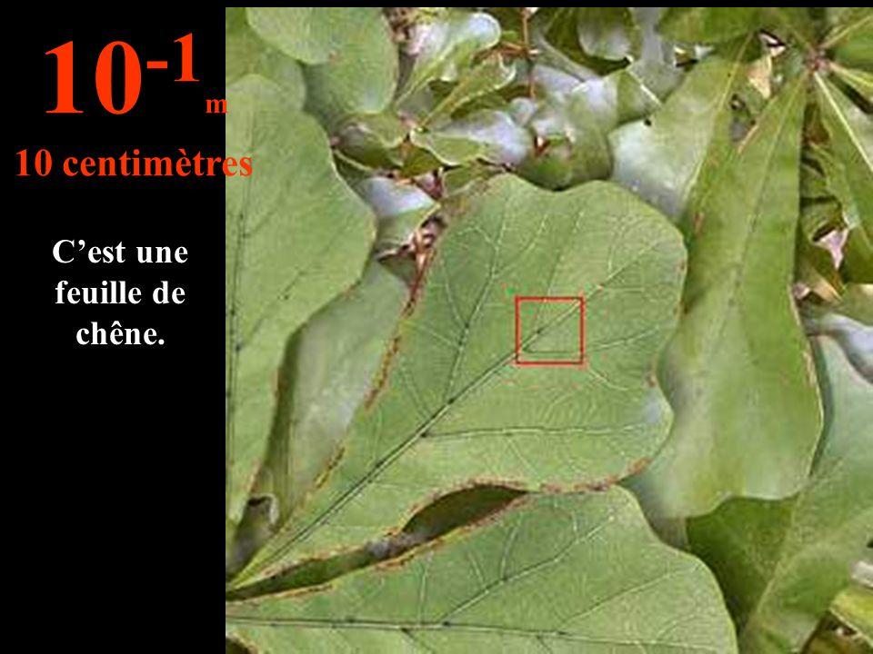 C'est une feuille de chêne. 10 -1 m 10 centimètres
