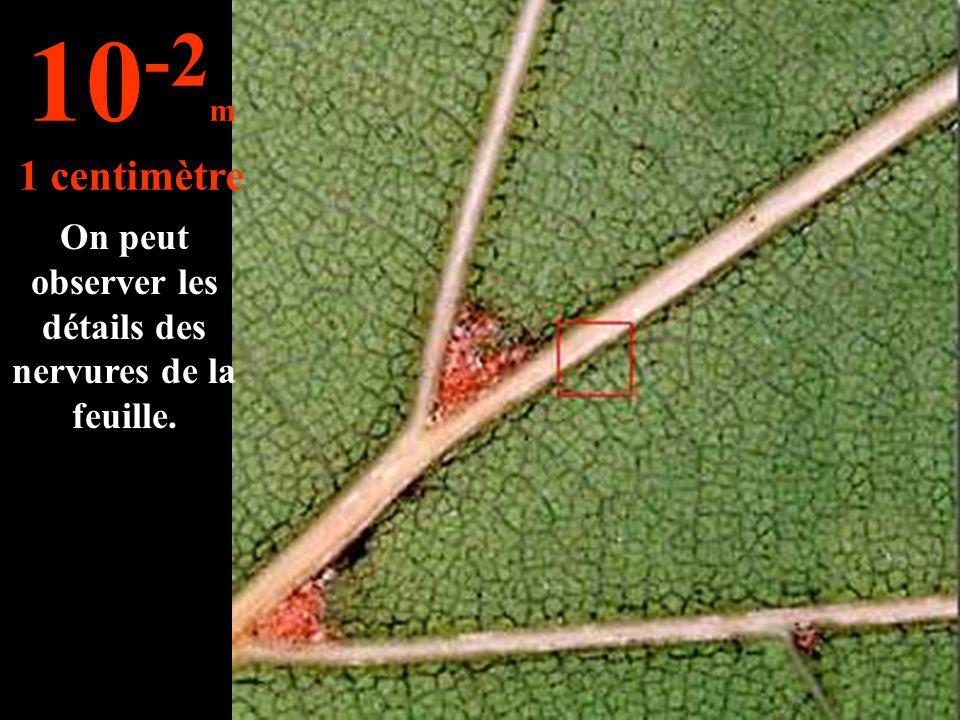 On peut observer les détails des nervures de la feuille. 10 -2 m 1 centimètre