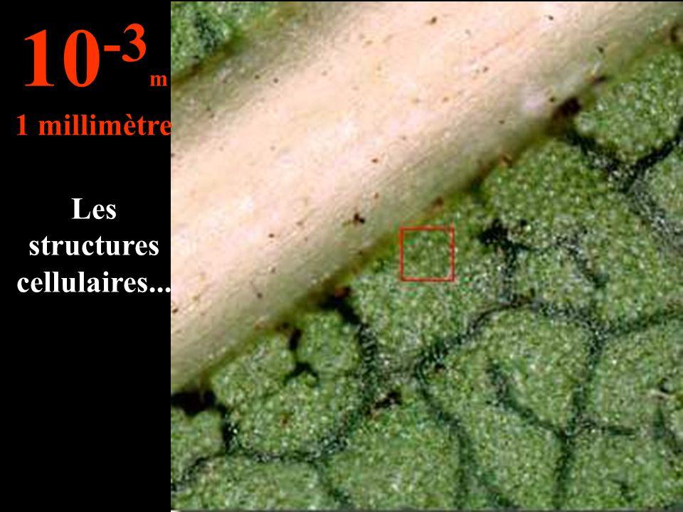 Les structures cellulaires... 10 -3 m 1 millimètre