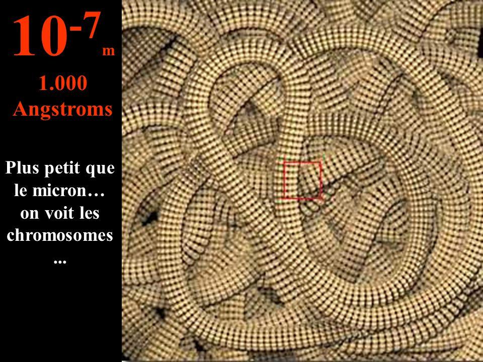 Plus petit que le micron… on voit les chromosomes... 10 -7 m 1.000 Angstroms
