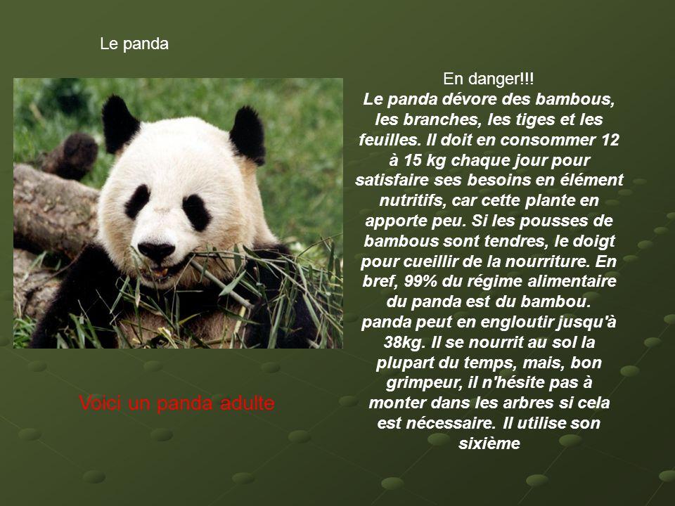 Le panda Voici un panda adulte En danger!!! Le panda dévore des bambous, les branches, les tiges et les feuilles. Il doit en consommer 12 à 15 kg chaq