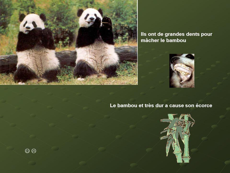 Ils ont de grandes dents pour mâcher le bambou Le bambou et très dur a cause son écorce 