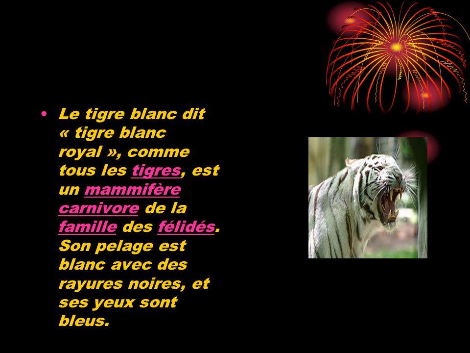 Le tigre blanc dit « tigre blanc royal », comme tous les tigres, est un mammifère carnivore de la famille des félidés. Son pelage est blanc avec des r