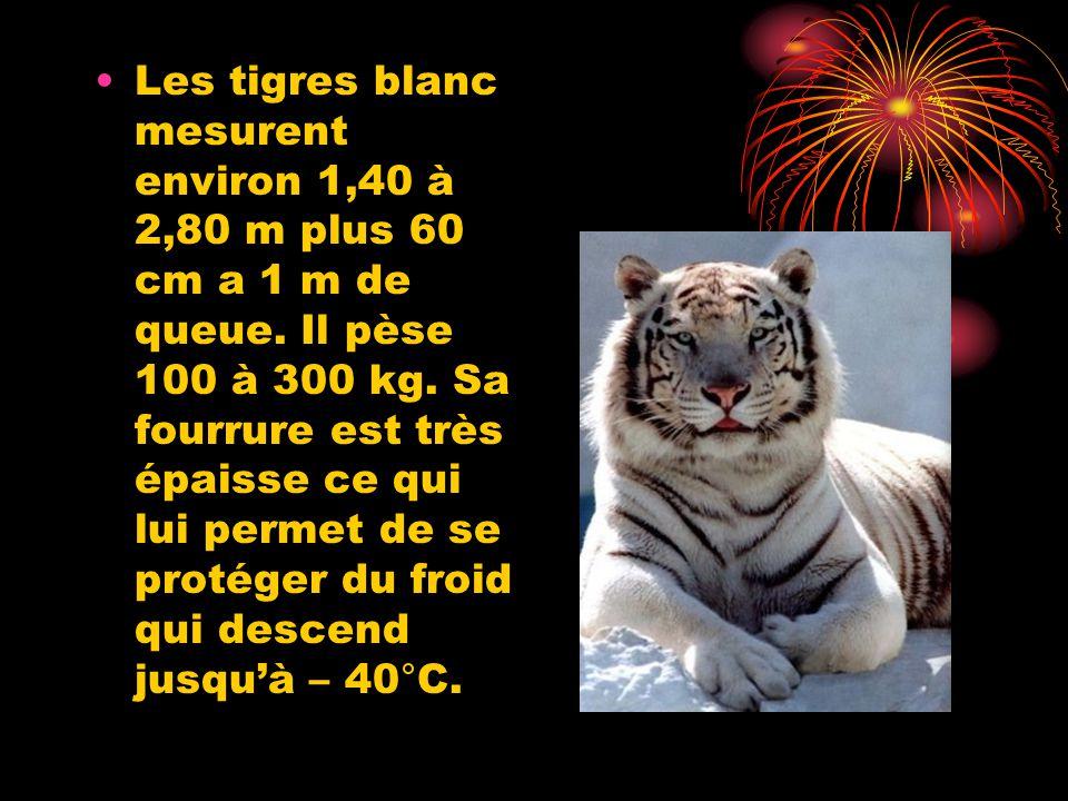 Les tigres blanc mesurent environ 1,40 à 2,80 m plus 60 cm a 1 m de queue. Il pèse 100 à 300 kg. Sa fourrure est très épaisse ce qui lui permet de se
