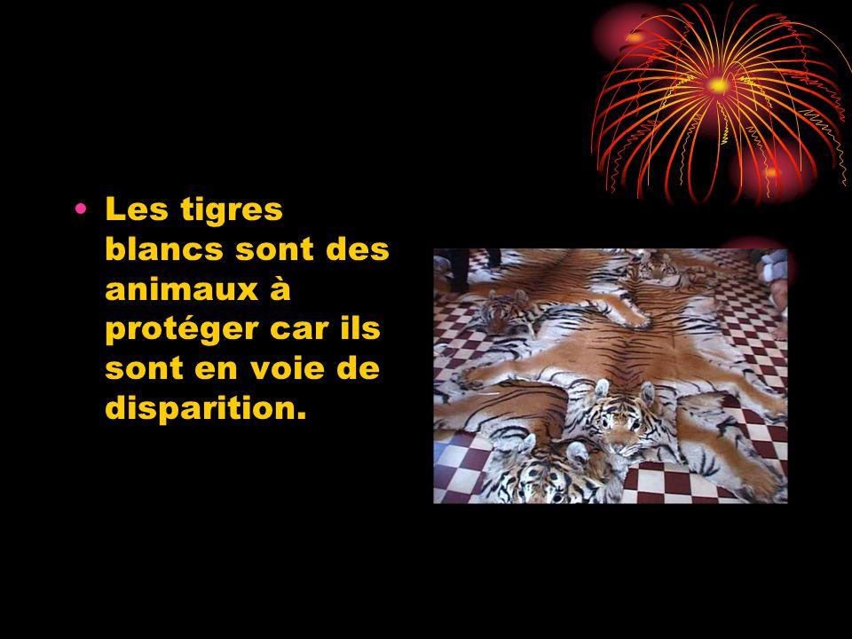 Les tigres blancs sont des animaux à protéger car ils sont en voie de disparition.
