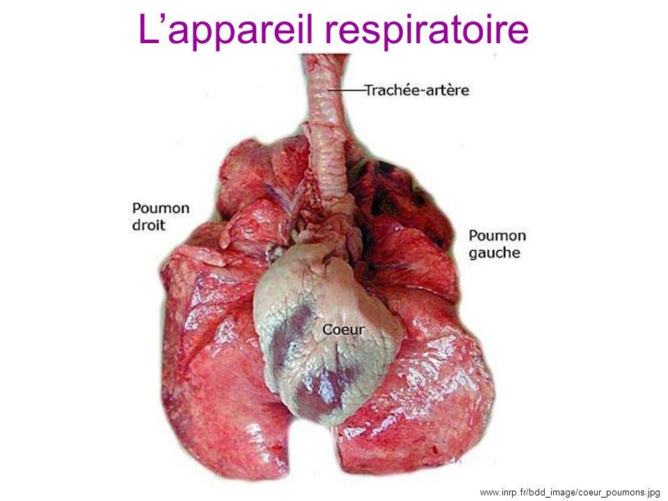 www.inrp.fr/bdd_image/coeur_poumons.jpg L'appareil respiratoire