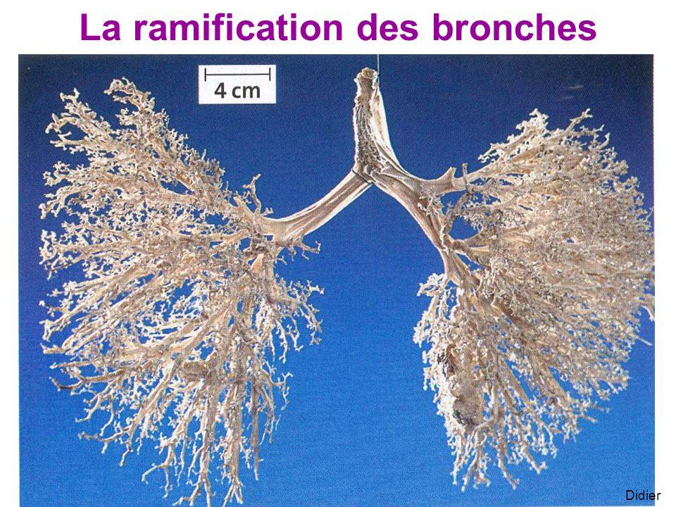 Didier La ramification des bronches