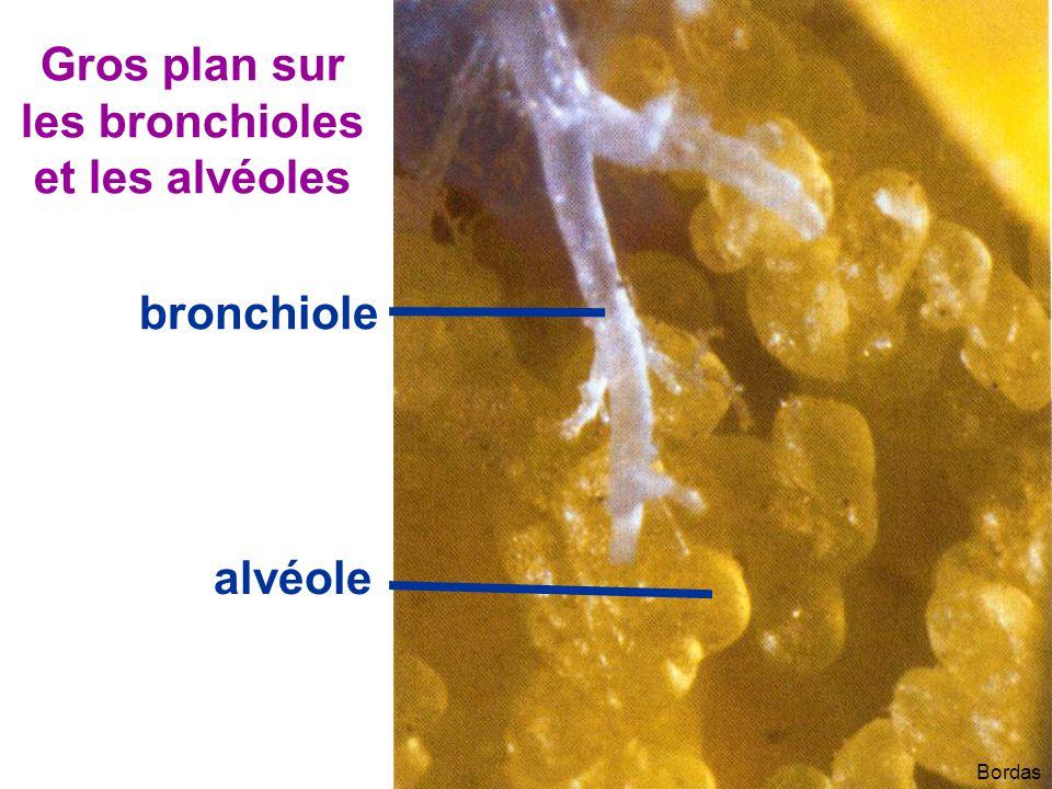 Bordas bronchiole alvéole Gros plan sur les bronchioles et les alvéoles