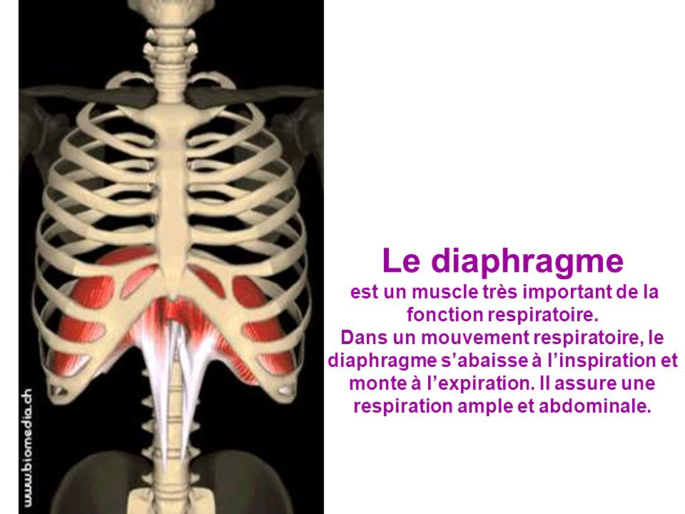 Le diaphragme est un muscle très important de la fonction respiratoire.