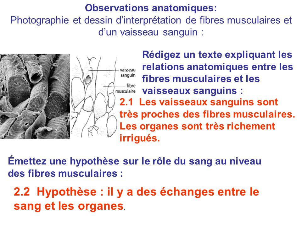 Observations anatomiques: Photographie et dessin d'interprétation de fibres musculaires et d'un vaisseau sanguin : Rédigez un texte expliquant les relations anatomiques entre les fibres musculaires et les vaisseaux sanguins : 2.1 Les vaisseaux sanguins sont très proches des fibres musculaires.
