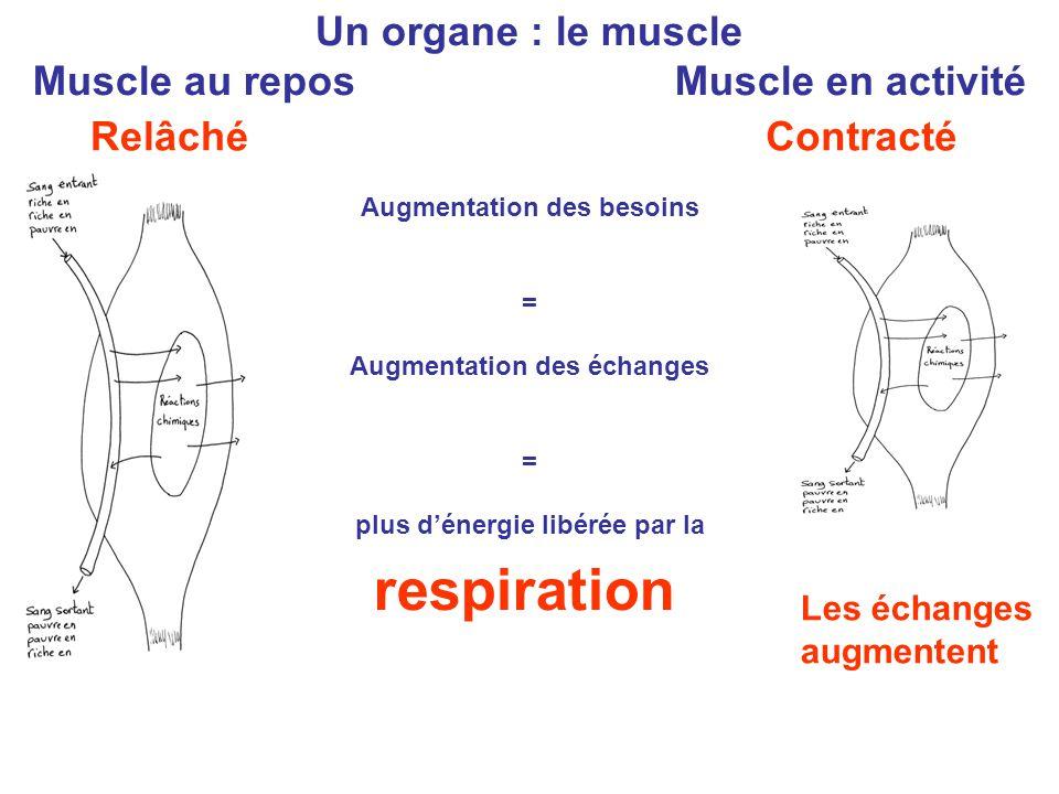 Un organe : le muscle Muscle au repos Muscle en activité Augmentation des besoins = Augmentation des échanges = plus d'énergie libérée par la respirat