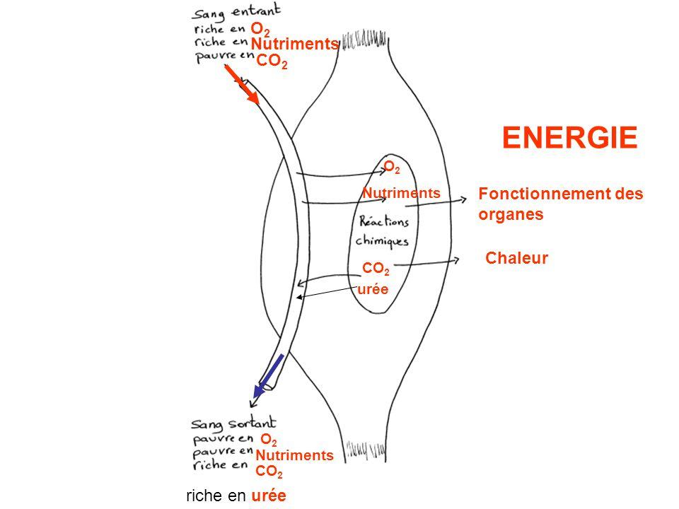 O2O2 O2O2 Nutriments CO 2 riche en urée Nutriments CO 2 Nutriments CO 2 urée O2O2 Fonctionnement des organes Chaleur ENERGIE
