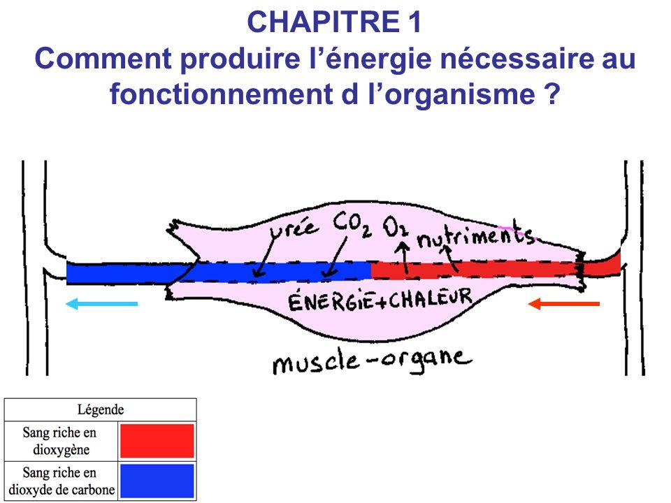 CHAPITRE 1 Comment produire l'énergie nécessaire au fonctionnement d l'organisme ?