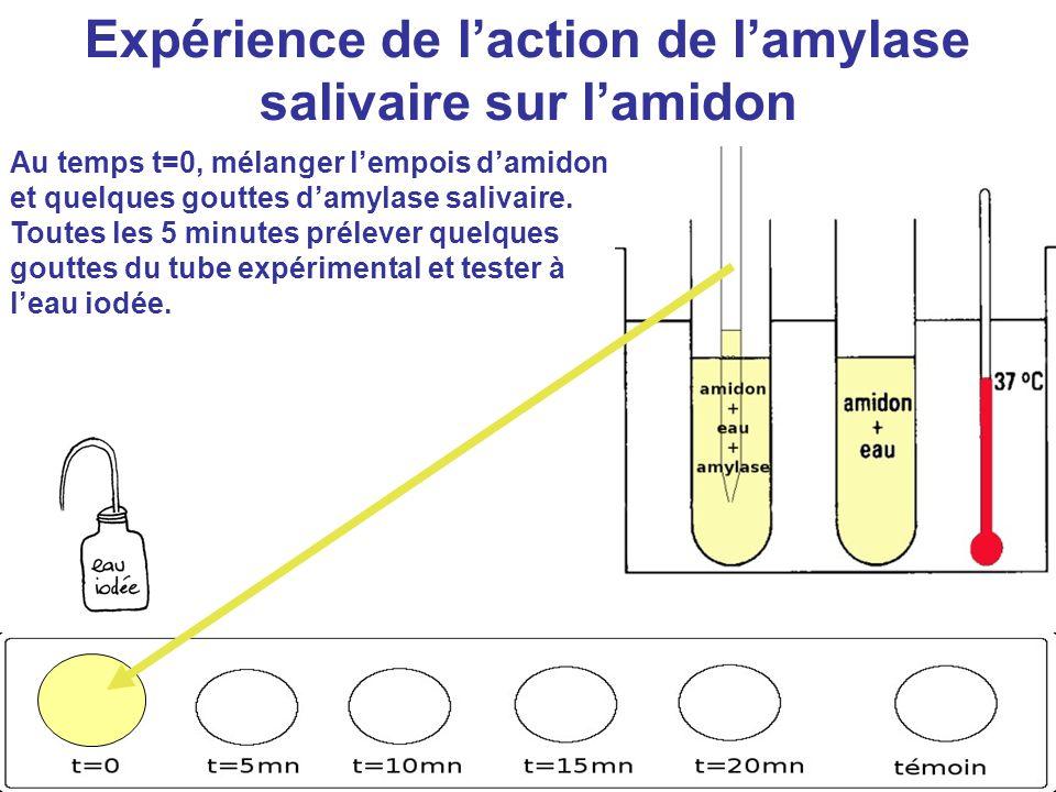 Expérience de l'action de l'amylase salivaire sur l'amidon Au temps t=0, mélanger l'empois d'amidon et quelques gouttes d'amylase salivaire. Toutes le