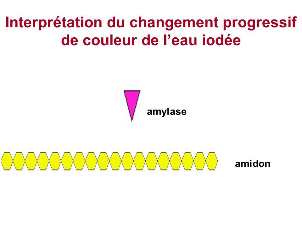 Interprétation du changement progressif de couleur de l'eau iodée amylase amidon