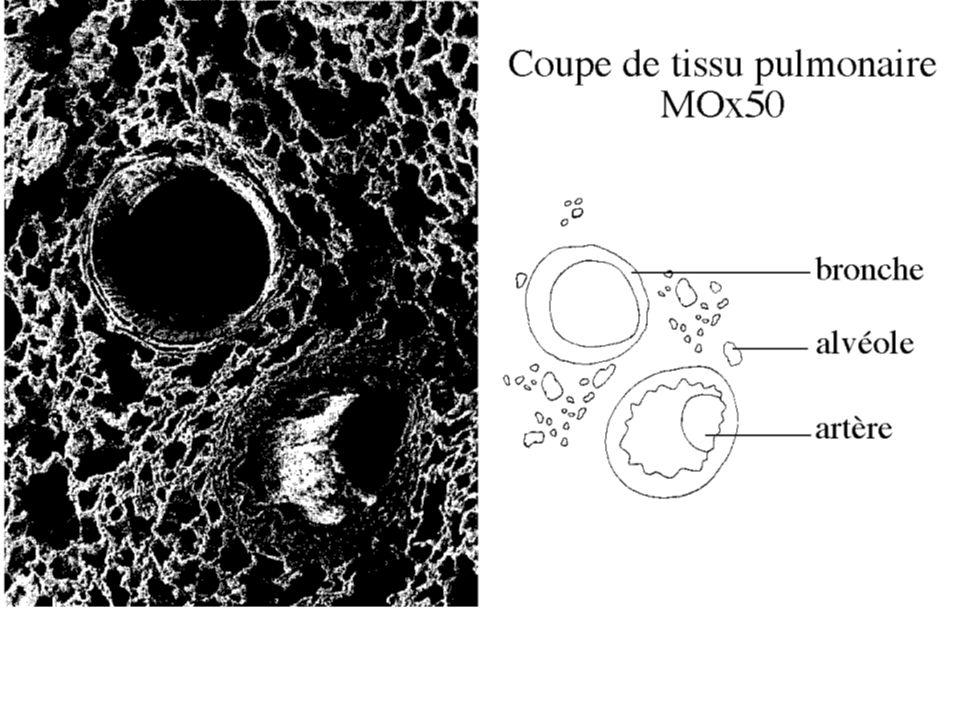 Cherchons ces caractéristiques au niveau des alvéoles : Un sac alvéolaire est formé de plusieurs alvéoles.