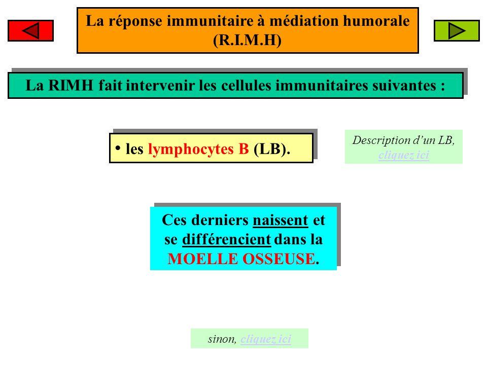 La RIMH fait intervenir les cellules immunitaires suivantes : La RIMH fait intervenir les cellules immunitaires suivantes : les lymphocytes B (LB). le