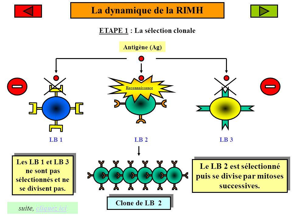 La dynamique de la RIMH ETAPE 1 : La sélection clonale Antigène (Ag) Clone de LB 2 Clone de LB 2 LB 1LB 2LB 3 suite, cliquez icicliquez ici Le LB 2 es