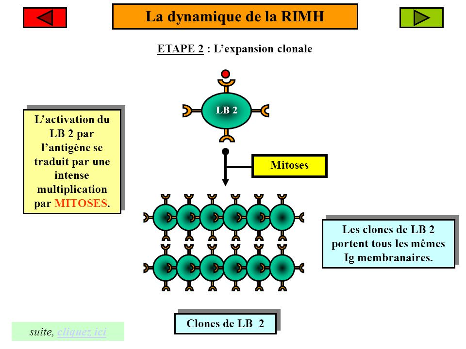 La dynamique de la RIMH ETAPE 3 : La différenciation clonale Clone de LB Clone de LB 1- Certains LB 2 du clone se différencient en plasmocytes.